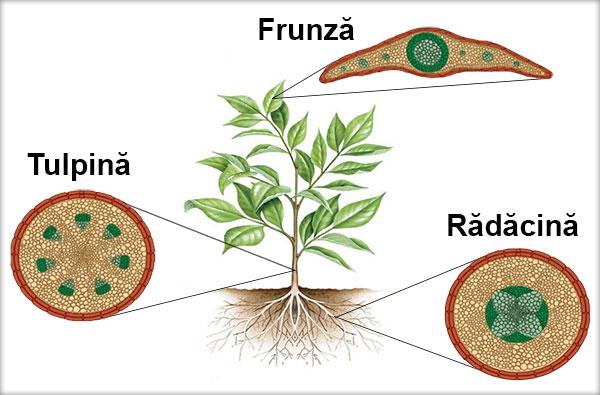 Ţesuturi vegetale