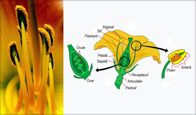 Alcătuirea florii