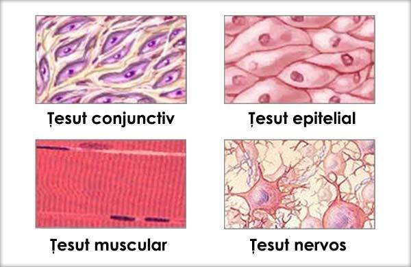 Tipuri de ţesuturi