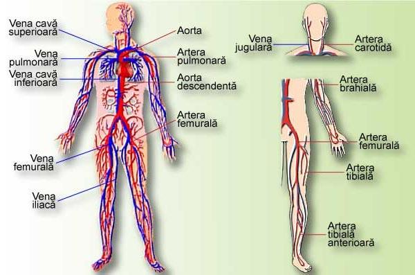Aparatul circulator