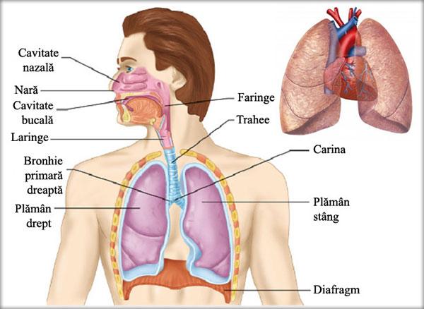 Respiraţia şi aparatul respirator
