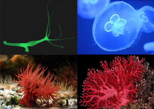 Hidra de apă dulce, Meduza, Actinia, Coralul roşu