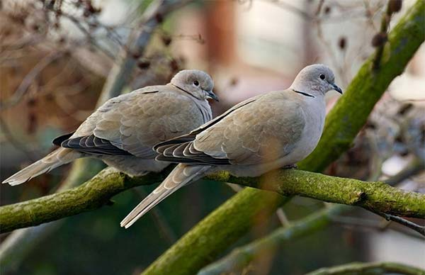 Porumbelul (corpul, capul, membrele)
