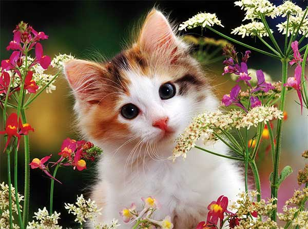 Pisica domestică