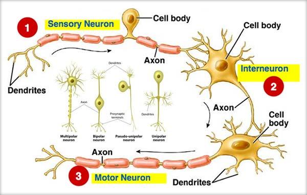 Ţesutul nervos, Neuronul, Fibra nervoasă, Nervul